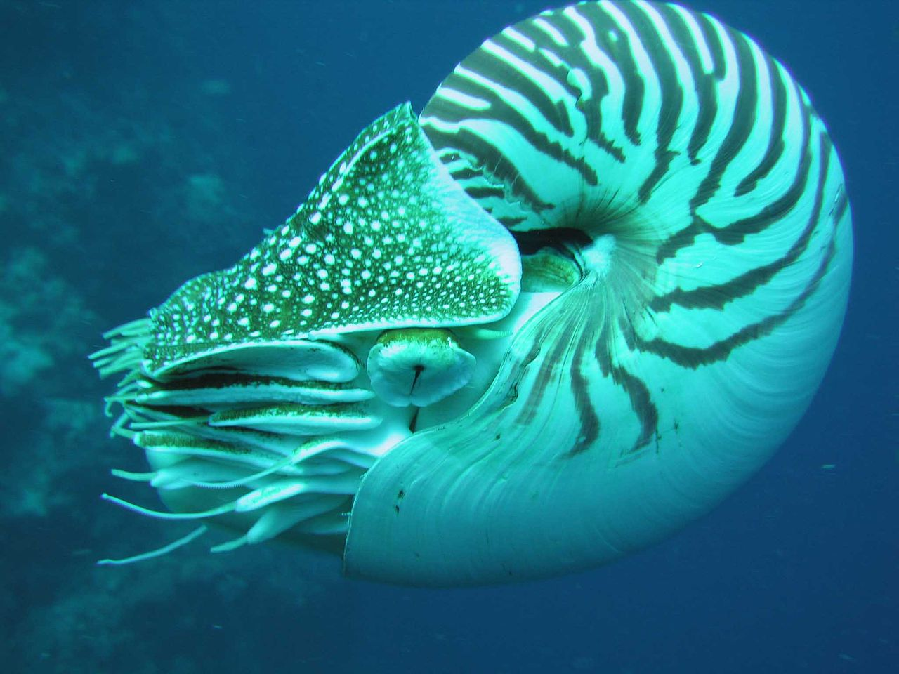 Palau nautilus from side. Palau, Micronesia. Photo by Lee R. Berger.