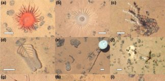Fig 3. Examples of metazoan megafauna photographed at the APEI6 seafloor during AUV survey. Scale bars representing 50 mm. (a) Actiniaria msp-6. (b) Actiniaria msp-13. (c) Bathygorgia cf. profunda. (d) Abyssopathes cf. lyra. (e) Left: Chonelasma sp.; right: Hyalonema sp. (f) Cladorhiza cf. kensmithi. (g) Bathystylodactylus cf. echinus. (h) Nematocarcinus sp. (i) Sabellida msp-1 (polychaete). (j) Left: Freyastera sp.; right: Caulophacus sp. (k) Psychropotes cf. longicauda. (l) Benthodytes cf. typica. (m) Coryphaenoides sp. (n) Typhlonus nasus. o and p: probable new Mastigoteuthis sp. Same specimen photographed with different cameras: (o) vertical view; (p) oblique view (Image taken ∼1″ prior to the vertical shot).