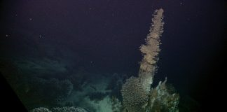 Barnacles attached to hydrothermal vent spires feeding at Kawio Barat. Critics of the Solwara 1 project raised concerns about its potential impact on the ecosystems that center on hydrothermal vents. Image courtesy of NOAA Okeanos Explorer Program, INDEX-SATAL 2010