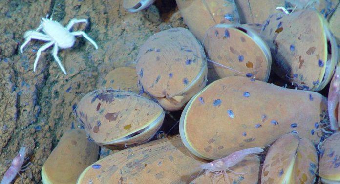 Galathied crabs, shrimp, graze bacteria on vent mussels (NOAA)