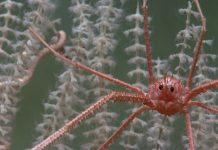 A crustacean looking out from within a deep sea octocoral, 1,150m beneath the Gulf of Mexico. (Image: NOAA)