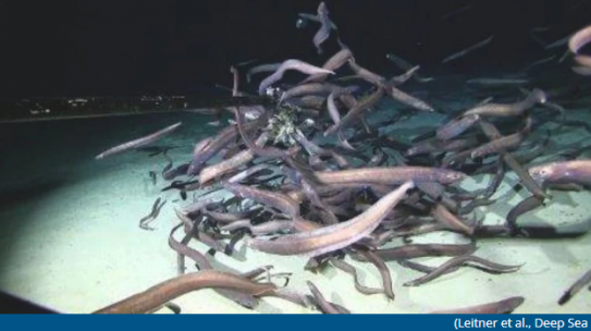 Massive Swarm of Eels Is The Most Fish Ever Recorded at The Bottom of The Ocean